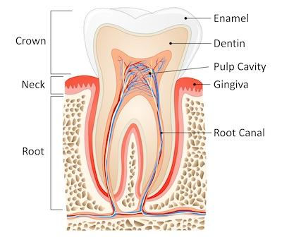 Diagram of tooth | Dental Emergency Bangor ME